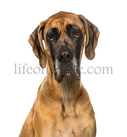Great Dane against white background