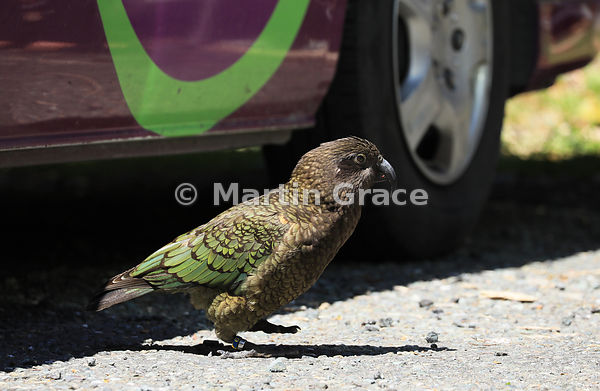 A Kea (Nestor notabilis) patrols the tourist car park at The Chasm looking for food, Te Anau-Milford Highway, Fiordland Natio...
