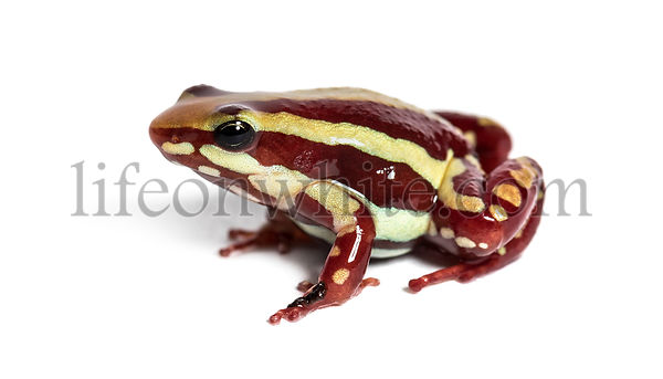 Anthony's poison arrow frog, Epipedobates anthonyi, in front of white background
