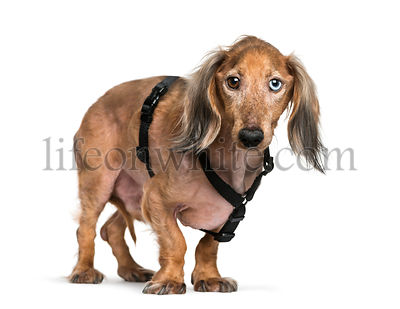 Old Dachshund, sausage dog in front of white background