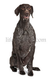 German Shorthaired Pointer dog, 5 years old, sitting in front of white background