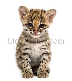 Front view of an Oncilla sitting, looking at the camera, Leopardus tigrinus, 5 weeks old, isolated on white
