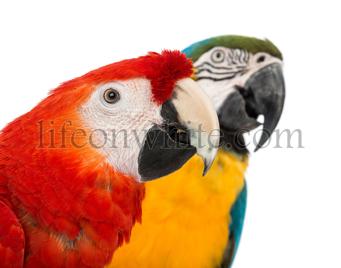 Close-up of a Blue-and-yellow Macaw, Ara ararauna, 30 years old, and Green-winged Macaw, Ara chloropterus, 1 year old, in fro...