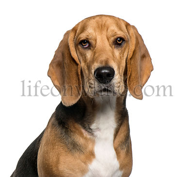 Close-up of a Basset Hound, isolated on white