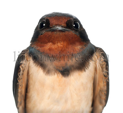 Barn Swallow, Hirundo rustica, close up against white background