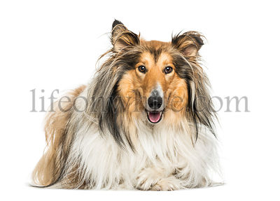 Rough Collie dog lying against white background