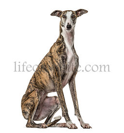 Slim galgo sitting, isolated on white