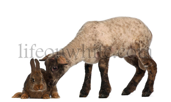 Lamb sniffing Rabbit against white background