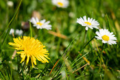 A dandelion among daisies