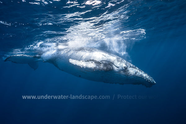 Underwater Photo: Humpback Whale