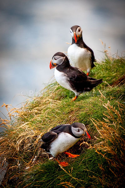 Three puffins on grassy ledge - upright