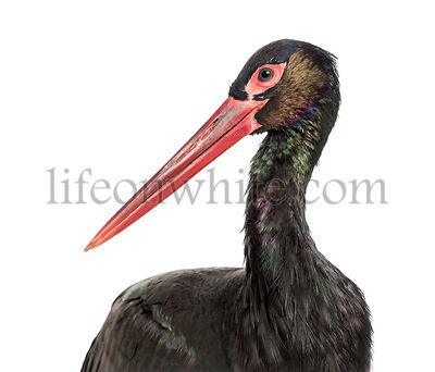 Black stork, Ciconia nigra,  against white background