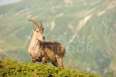 bouquetin-cheserys-HD_focus-outdoor-0001