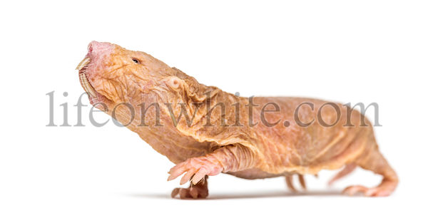 Naked Mole-rat smelling and looking up, hairless rat, isolated on wihte