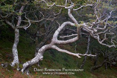 Prints & Stock Image - Gnarly Sessile Oak trees, Quercus petraea, Rhu Peninsula, Arisaig, Lochaber, Highland, Scotland.