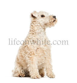 Lakeland Terrier, 6 years old, sitting in front of white background