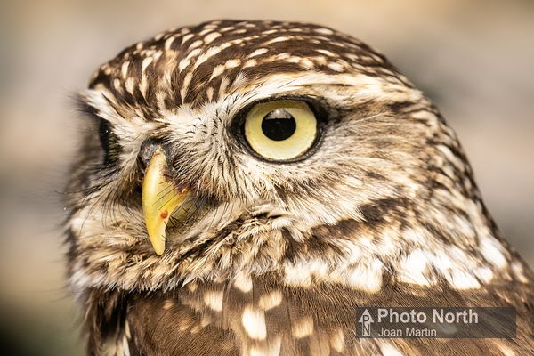 OWL 10B - Little owl