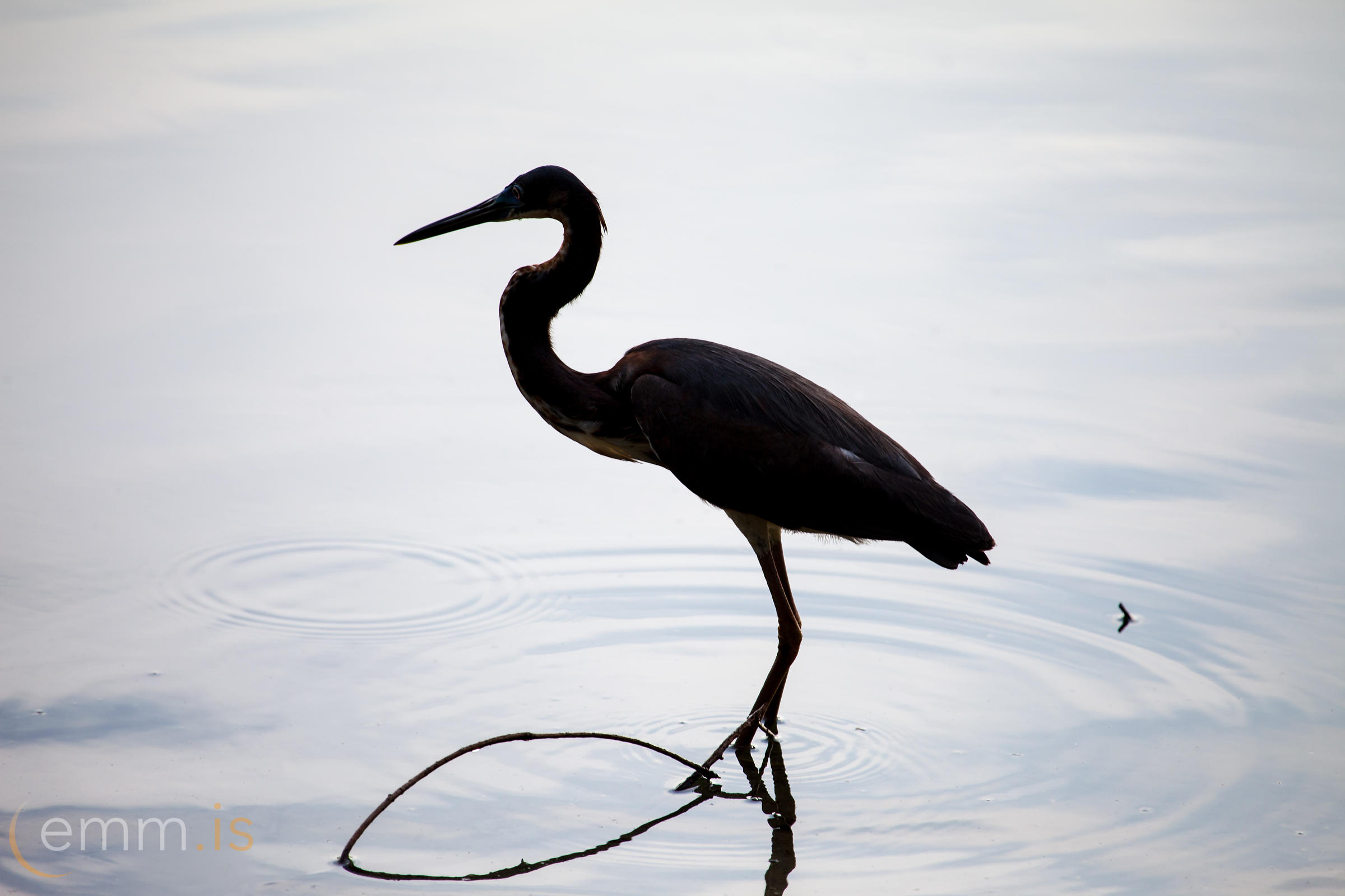 Hegri_-_Heron_in_a_Silhouette_in_Florida-_emm.is