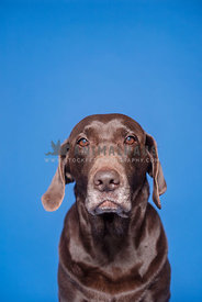 headshot of older chocolate lab with blue background