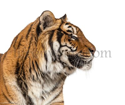 Close-up, profile on a Tiger's head, isolated on white