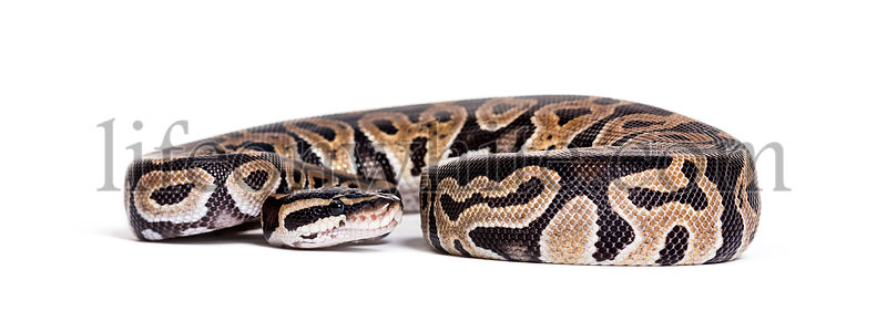 Python regius, against white background
