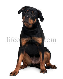 Doberman, 15 months old, sitting in front of white background