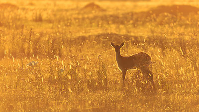 Lechwe in Gold