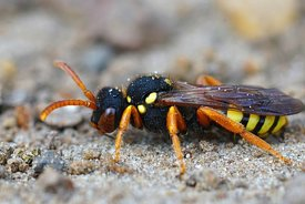 Closeup of a female Painted Nomad Bee, Nomada fucata in the sand