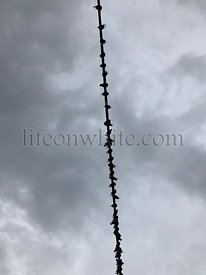 pigeons perched in a row on a wire against a grey cloudy background
