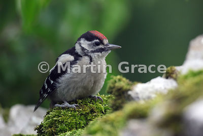 Juvenile Great Spotted Woodpecker (Dendrocopus major) on an old limestone garden wall, Cumbria, England