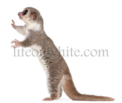 Fat-tailed Dwarf Lemur, Cheirogaleus medius, 11 years old, standing in front of white background