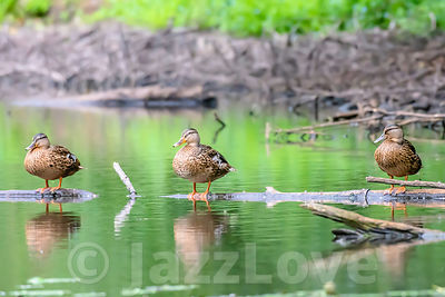 Three ducks perching  on wooden log in pond.