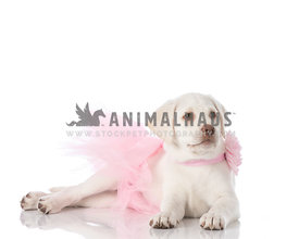 Cream Laborador Puppy wearing pink tutu and pink flower collar laying on white looking away
