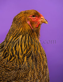 Close-up of a side of Brahma chicken against purple background