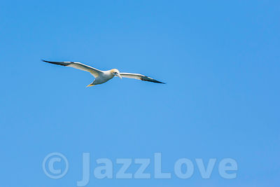 Gannet in flight.