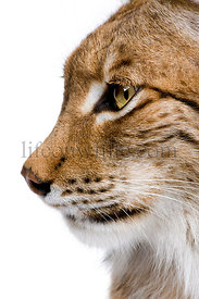 Close-up of a Eurasian Lynx head