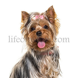 Close-up of a panting yorkshire terrier dog, isolated on white