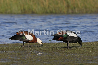 Pair of grazing Paradise Shelduck (Tadorna variegata) - female to the left, Otaki Beach, North Island, New Zealand