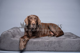 senior chocolate lab laying on gray dog bed with gray background