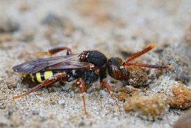 Closeup of the colorful  Variable nomad cleptoparasite bee, Nomada zonata on sandy soil