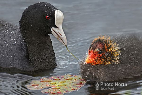 COOT 02A - Coot with chick