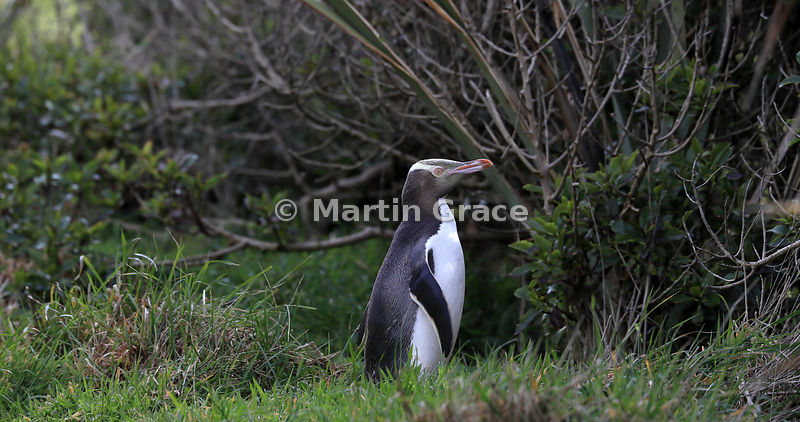 Yellow-Eyed Penguin (Megadyptes antipodes) about to enter native woodland to approach its nest site, Otago Peninsula, Dunedin...