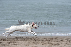 white labrador sprinting on the beach