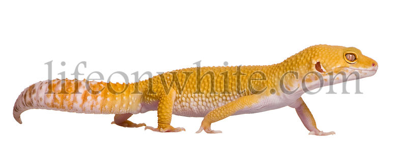 Sunglow Leopard gecko, Eublepharis macularius, walking