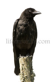 Young Carrion Crow - Corvus corone (4 months)