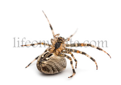 European garden spider, Araneus diadematus, on its back against white background
