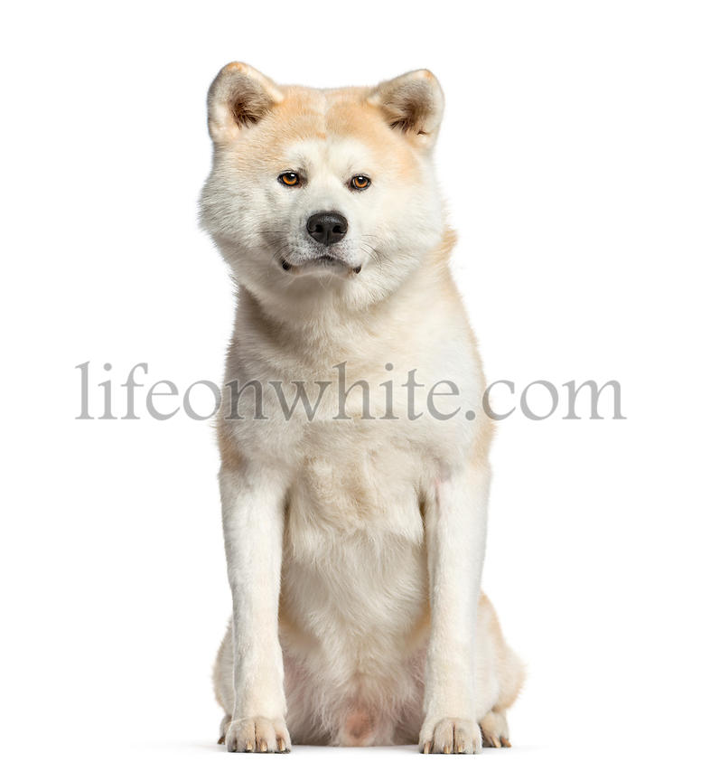 Akita inu, dog  sitting and looking at the camera, isolated on white