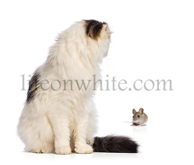 American Curl sitting and looking backwards at a mouse, isolated on white