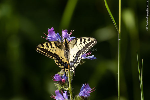 machaon_(4)