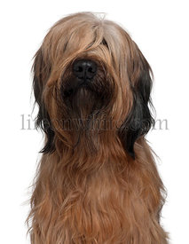 Briard dog, 1 Year Old, sitting in front of white background
